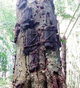 Baby Baum in Kambira