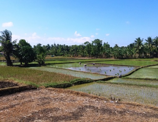 rice planters in Sulawesi