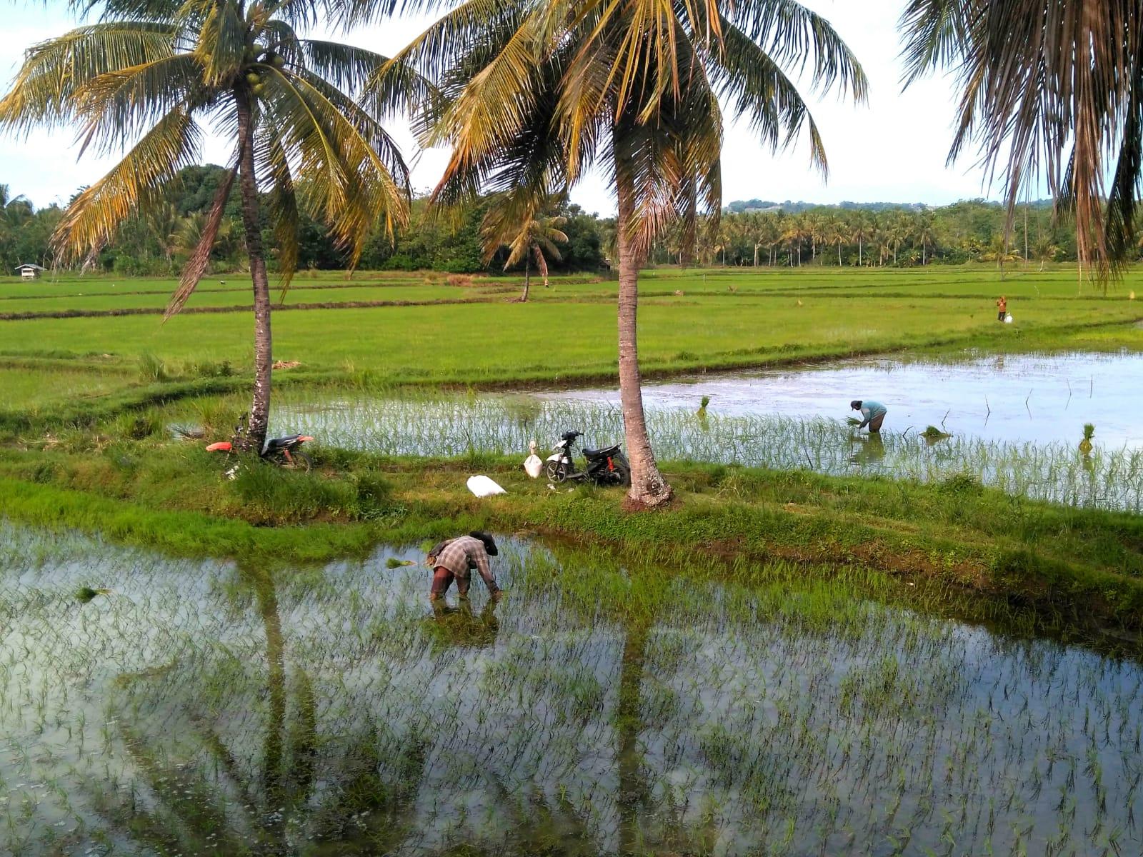 Rice planting, Jeneponto