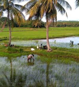Rice planting Sulawesi. Travel with a wheelchair in Sulawesi